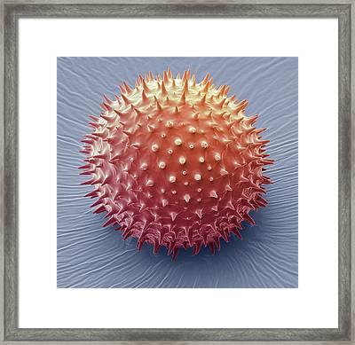 Mallow Pollen Grain Framed Print