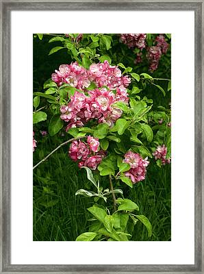 Malus X Micromalus Flowers Framed Print by Adrian Thomas