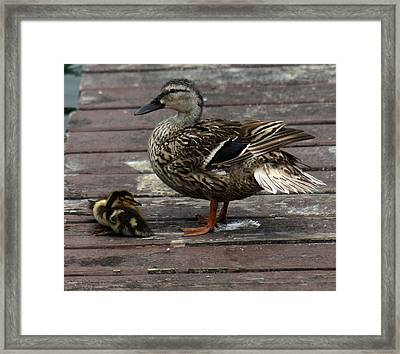 Mama Duck And Ducklings Framed Print by Pamela Walton