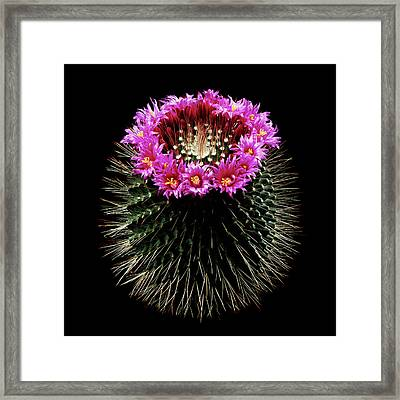 Mammillaria Spinosissima In Flower Framed Print by Gilles Mermet