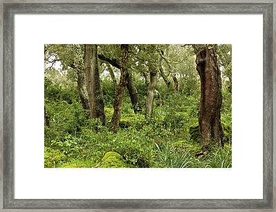 Managed Cork Oak (quercus Suber) Forest Framed Print by Bob Gibbons