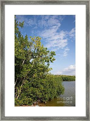 Mangrove Forest Framed Print by Carol Ailles