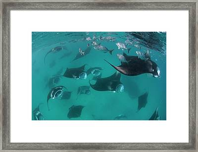 Manta Rays In The Maldives Framed Print by Scubazoo