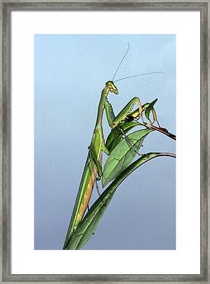 Mante Religieuse Framed Print by Gerard Lacz