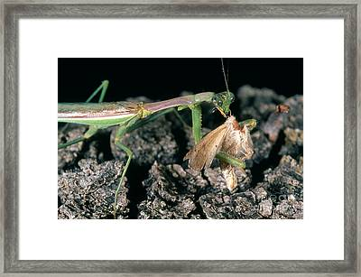 Mantis Eating Moth Framed Print by Gregory G. Dimijian, M.D.
