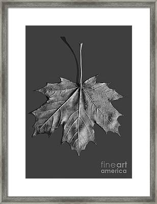 Maple Leaf Framed Print by Steven Ralser