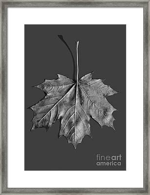 Maple Leaf Framed Print by Steven Ralser
