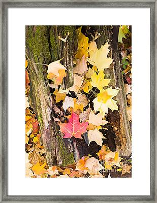 Maple Leaves Framed Print by Steven Ralser