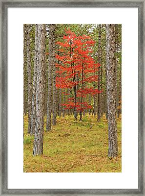 Maple Trees In Fall Colors, Hiawatha Framed Print