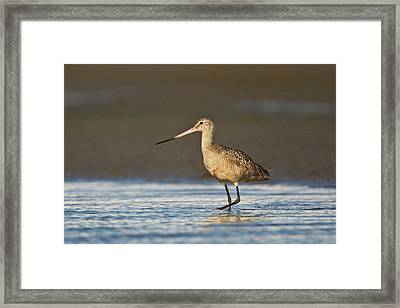 Marbled Godwit (limosa Fedoa Framed Print by Larry Ditto