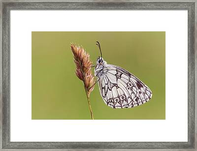 Marbled White Butterfly Framed Print by Heath Mcdonald