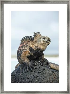 Marine Iguana Male Turtle Bay Santa Framed Print