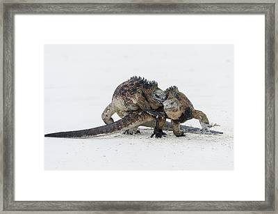 Marine Iguana Males Fighting Turtle Bay Framed Print by Tui De Roy