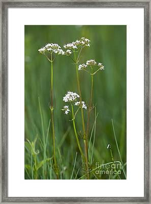 Marsh Valerian Valeriana Dioica Framed Print by Bob Gibbons