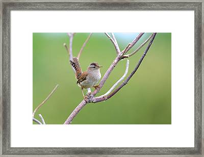Marsh Wren Framed Print