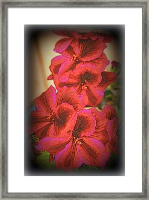 Martha Washington Geranium Framed Print by Kay Novy