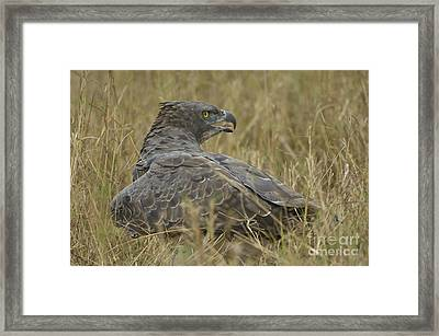 Martial Eagle Mantling Prey Framed Print