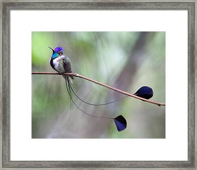 Marvelous Spatuletail Framed Print by Max Waugh