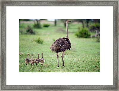 Masai Ostrich Struthio Camelus Framed Print by Panoramic Images
