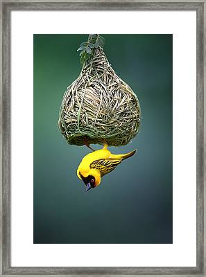Masked Weaver At Nest Framed Print by Johan Swanepoel
