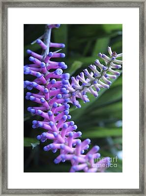 Matchsticks Bromeliad Aechmea Sp Framed Print by Steve Horrell