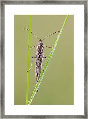 Meadow Brown Butterfly Framed Print by Heath Mcdonald