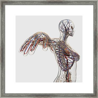 Medical Illustration Of Arteries, Veins Framed Print