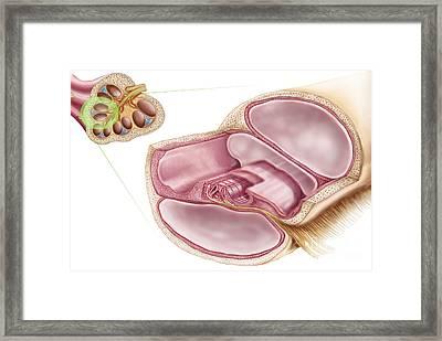Medical Illustration Of Endolymph Framed Print by Stocktrek Images