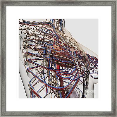 Medical Illustration Of Female Breast Framed Print