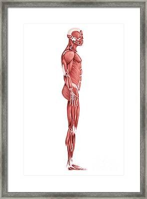 Medical Illustration Of Male Muscular Framed Print by Stocktrek Images