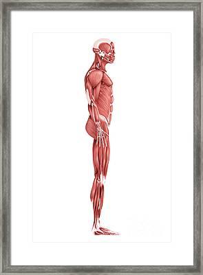 Medical Illustration Of Male Muscular Framed Print by Stocktrek Images