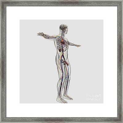 Medical Illustration Of Male Framed Print by Stocktrek Images