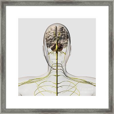 Medical Illustration Of The Human Framed Print by Stocktrek Images
