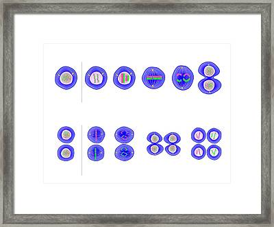 Meiosis Cell Division Framed Print by Science Photo Library
