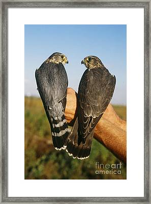 Merlin Falcons Framed Print by James L. Amos