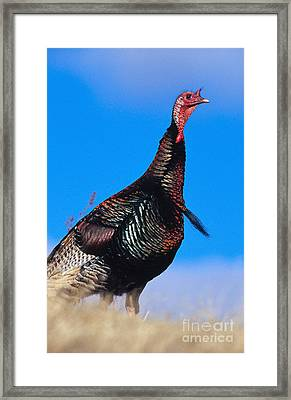 Merriams Turkey Framed Print by William H. Mullins