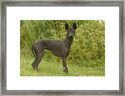 Mexican Hairless Dog Framed Print by Jean-Michel Labat