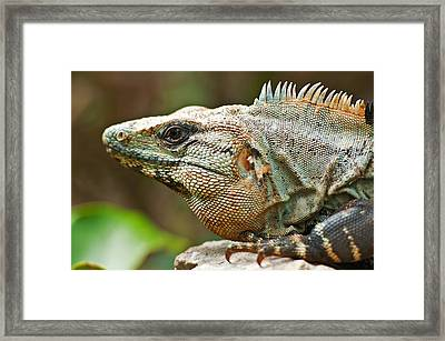 Mexican Iguana Framed Print by Paul Pascal