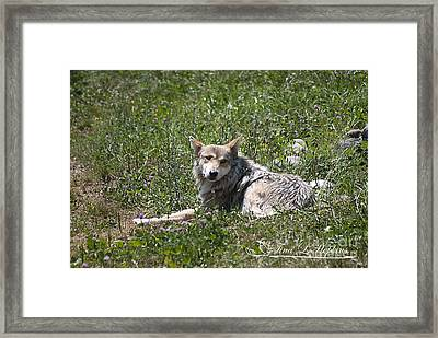 Framed Print featuring the photograph Mexican Wolf I by Tina Hopkins