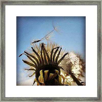 #mgmarts #dandelion Framed Print by Marianna Mills