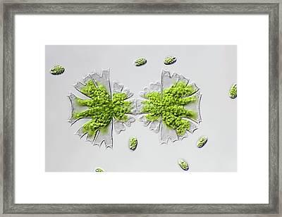 Micrasterias Desmid Dividing Framed Print