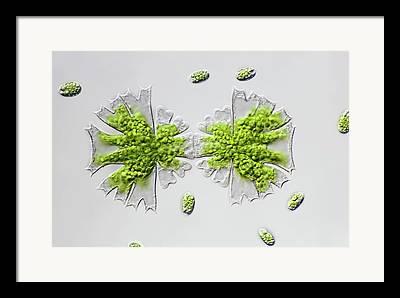 Single-celled Organism Photographs Framed Prints