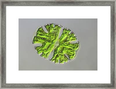 Micrasterias Desmid Framed Print by Frank Fox