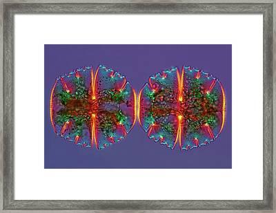 Micrasterias Desmids Framed Print by Marek Mis
