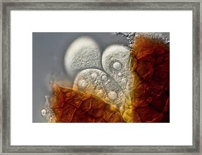 Microspaera Framed Print by Gerd Guenther