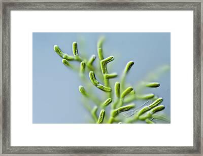 Microthamnion Sp. Green Alga Framed Print