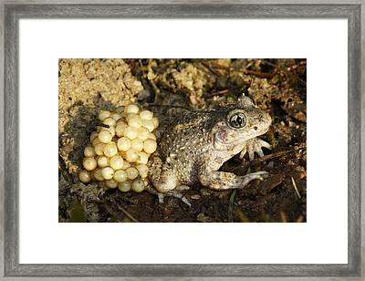 Midwife Toad With Eggs Framed Print by M. Watson