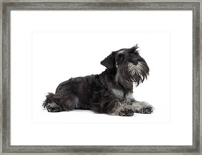 Miniature Schnauzer Puppy Framed Print by Jean-Michel Labat