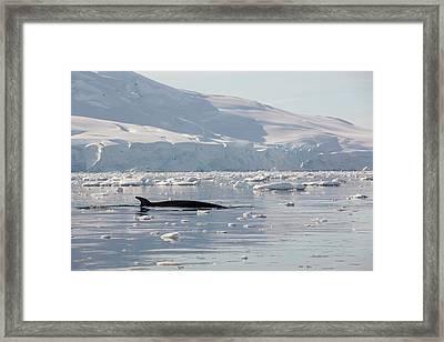 Minke Whales Framed Print by Ashley Cooper