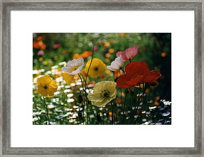Mixed Color Poppies Framed Print